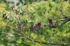 Отмелое изображение DOF ветви дерева сосенки Стоковое Изображение RF