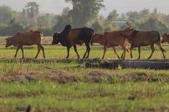 Отмелый фокуса к коровам Стоковая Фотография