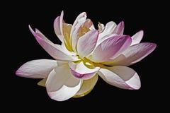 лотос священнейший Стоковое Фото