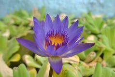 лотос тайский Стоковое Изображение