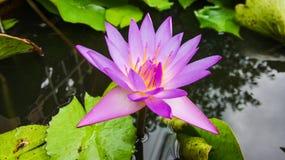 лотос тайский Стоковая Фотография