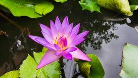 лотос тайский Стоковые Изображения RF
