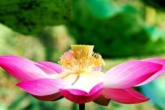 лотос цветения Стоковые Фото