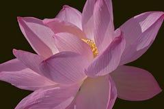 лотос цветка священнейший Стоковые Изображения RF