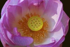 лотос цветка священнейший Стоковые Фото