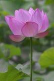 лотос цветка священнейший Стоковые Изображения