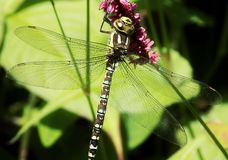 лоточница dragonfly южная стоковая фотография rf