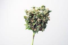 отпочковывает марихуана медицинская Стоковое Изображение
