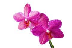 отпочковывает орхидеи Стоковые Фото