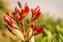 Отпочковывает цветок красного цвета os стоковая фотография rf