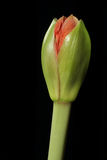 отпочковывайтесь цветок Стоковое Изображение
