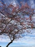 Отпочковываться вишневых цветов Стоковые Изображения