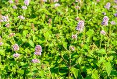 Отпочковываться и заводы мяты воды сирени цветя от конца стоковая фотография rf