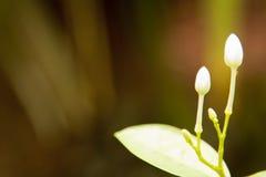 Отпочковываться крупного плана белого цветка сада с расплывчатым backgroun стоковая фотография