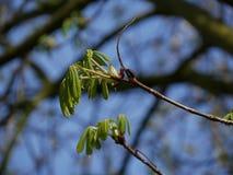 Отпочковываясь дерево весной Дерево конского каштана/плода конского каштана стоковые фотографии rf