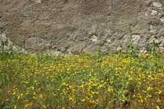 Отпочковываясь желтые полевые цветки и старые стены стоковое изображение