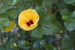 Отпочковываясь желтый гибискус Стоковые Изображения RF