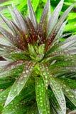 Отпочковываясь капельки воды лилии Стоковое фото RF