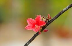 Отпочковываясь красный цветок стоковые изображения rf