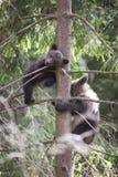 Отпрыски медведя вверх в дереве Стоковое Изображение RF