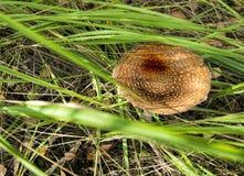 Отрава гриба стоковые изображения