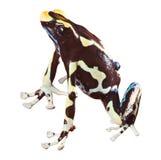 отрава любимчика лягушки дротика лодкамиамфибии красивейшая Стоковое фото RF
