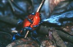 отрава лягушек дротика Стоковая Фотография RF