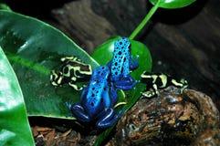 отрава лягушек дротика стоковое фото