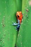 отрава лягушки дротика Стоковое фото RF