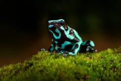 Отравите лягушку от леса Амазонки тропового, Коста-Рика Зеленая черная лягушка дротика отравы, auratus Dendrobates, в среду обита Стоковая Фотография