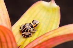 Отравите striped лягушку дротика, fantastica Ranitomeya morph стоковое изображение