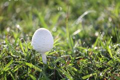 Отравление гриба растя на зеленой лужайке Стоковые Изображения RF