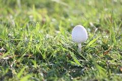 Отравление гриба растя на зеленой лужайке Стоковое Изображение RF