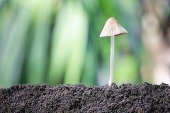Отравление гриба растя на земле Стоковые Фотографии RF