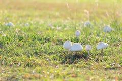Отравление гриба растя на зеленой лужайке Стоковое Фото