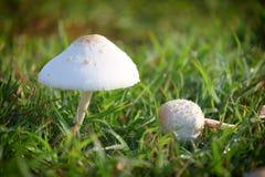 Отравление гриба растя на зеленой лужайке Стоковая Фотография