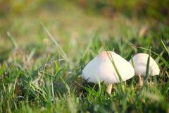 Отравление гриба растя на зеленой лужайке Стоковое фото RF
