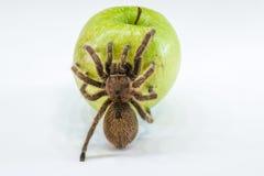Отравленное яблоко, Стоковая Фотография RF