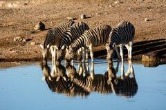 Отражать на зебрах Стоковое Изображение