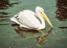 Отражают большой белый пеликана - onocrotalus Pelecanus - на мерцающем озере Стоковая Фотография
