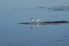 Отражают Avocets в воде - Австрии Стоковая Фотография RF