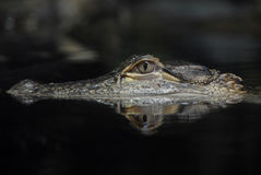 отражение американца аллигатора Стоковая Фотография