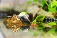 Отражение аллигатора Стоковая Фотография RF