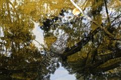 Отражение аллигатора Стоковые Фото