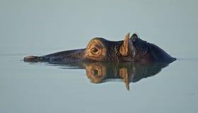 отражение бегемота Стоковое фото RF