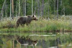 Отражение бурого медведя в воде Стоковые Фотографии RF