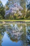 Отражение вишневого дерева в озере Стоковая Фотография RF