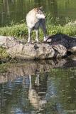 Отражение волка тимберса в воде Стоковые Фото
