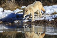 Отражение волка тимберса в воде Стоковая Фотография