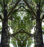 Отражение горизонтально Береза и свои ветви Лето полдень стоковое фото rf